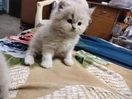 Faun Persian kitten for sale