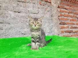 Kucing Kitten Persia Flatnose shorthair