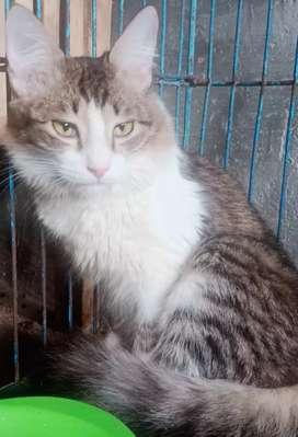 Kucing anggora ras turkish kesayangan