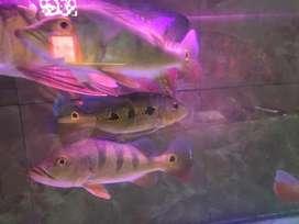 Ikan pibas mono panjang 26cm 2 ekor 550 ribu